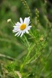 Photo de fleur de prune Image stock