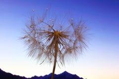 Photo de fleur de pissenlit macro avec des baisses de l'eau contre le contexte de l'aube dans le terrain montagneux images libres de droits