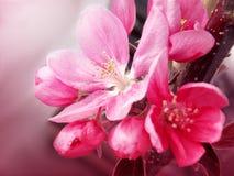 Photo de fleur rose de ressort Photo stock