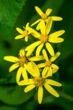 Photo de fleur sauvage jaune en montagnes carpathiennes Photographie stock libre de droits
