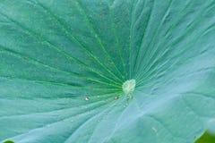 Photo de fond de feuille de Lotus Photos stock