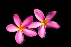 Photo de Frangipani, Dok Champa dedans, la Thaïlande image libre de droits