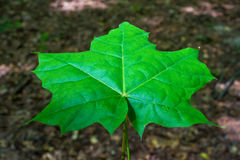 Photo de la feuille d'érable dans une forêt verte Photos stock
