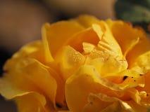 Photo de la rose jaune fleurie avec des gouttes de rosée Fin vers le haut photo stock