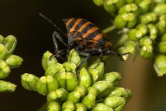 Photo de macro d'insecte de puanteur image stock