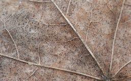 Photo de macro de feuille d'érable d'automne de texture Photographie stock libre de droits