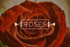 Photo de macro de Rose rouge Photographie stock