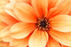 Photo de macro de fleur de dahlia de jaune orange Photo en couleurs soulignant les couleurs orange-clair et les ombres brunes Photographie stock