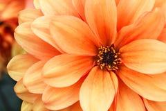 Photo de macro de fleur de dahlia de jaune orange Photo en couleurs soulignant les couleurs orange-clair et les ombres brunes Photo libre de droits