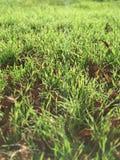 Photo de mobile de makro de vert d'herbe Image stock