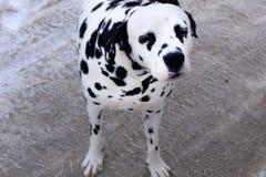 Photo de mon tacheté repéré pur dalmatien images libres de droits