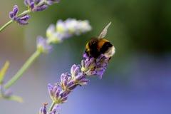 Photo de nature avec la fleur et l'abeille là-dessus Photo stock