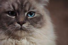 Photo de plan rapproché d'un chat avec des yeux bleus Photographie stock