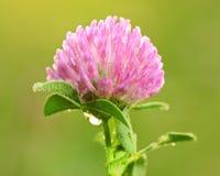 Photo de plan rapproché d'une fleur de trèfle avec Image libre de droits