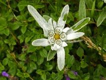 Photo de plan rapproché d'une fleur d'edelweiss Image libre de droits