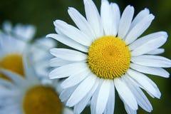 Photo de plan rapproché de beau Wildflower Photo stock