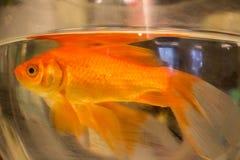 Photo de plan rapproché de poisson rouge Photo libre de droits