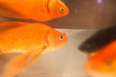 Photo de plan rapproché de poisson rouge Images stock
