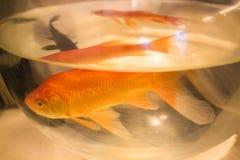 Photo de plan rapproché de poisson rouge Photographie stock libre de droits
