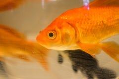 Photo de plan rapproché de poisson rouge Image libre de droits