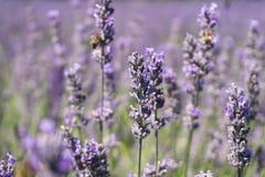 Photo de plan rapproché des fleurs de lavande avec des abeilles là-dessus, dans une heure d'été image libre de droits