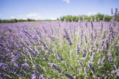 Photo de plan rapproché des fleurs de lavande avec des abeilles là-dessus, dans une heure d'été photographie stock libre de droits