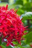 Photo de plan rapproché des fleurs rouges de transitoire image stock