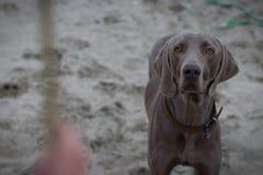 Photo de portrait du chien Ares photos stock