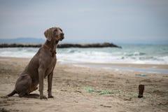 Photo de portrait du chien Ares image libre de droits