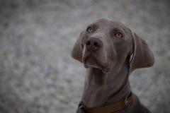 Photo de portrait du chien Ares photographie stock libre de droits