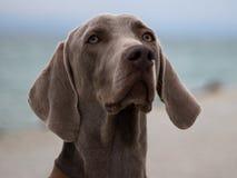 Photo de portrait du chien Ares photos libres de droits