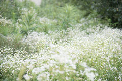 Photo de pré de fleurs blanches Image stock
