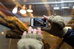 Photo de prise masculine d'iguane dans le zoo avec le téléphone intelligent Image libre de droits