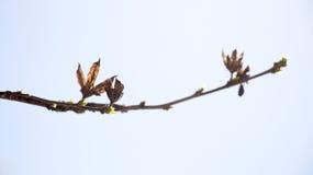 Photo de ramification tendre lumineuse d'un élevage d'arbre Photographie stock libre de droits