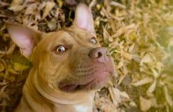 Photo de Selfie de chien jaune Photos libres de droits