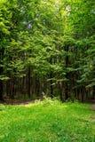 Photo de vieux arbres avec la pelouse dans une forêt verte Photo stock