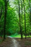 Photo de vieux arbres avec la route dans une forêt verte Image stock
