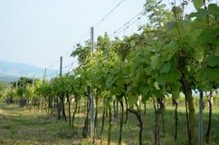 Photo de vignoble en été Image stock