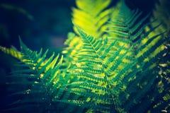 Photo de vintage de belles feuilles de fougère Photos stock