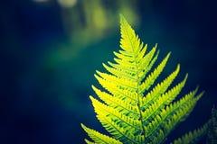 Photo de vintage de belles feuilles de fougère Photo stock