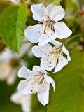 Photo de vintage de la fleur blanche de cerisier au printemps Photo libre de droits