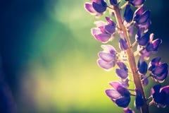 Photo de vintage des fleurs de loup Image libre de droits