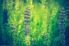 Photo de vintage des fleurs de loup Photo stock