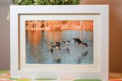 Photo de vol de canard sauvage Photos stock