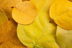Photo de vue sup?rieure, un tas des feuilles jaunes de l'usine de Seagrape ou connues sous le nom de raisin de bord de la mer image stock