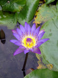Photo de waterlily Photographie stock