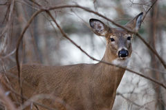 Photo of the deer looking at you Royalty Free Stock Image