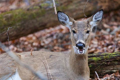 Photo of the deer with the opened mouth Royalty Free Stock Images