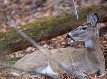Photo of a deer screaming something. Photo of a wild deer screaming something Royalty Free Stock Photo