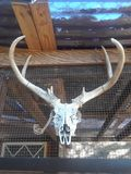 Deer Skull. Photo of a deer skull hanging on a ranch chicken coop Royalty Free Stock Photos